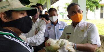 Wali Kota Tarakan Khairul (kanan) melakukan panen perdana terhadap usaha ternak ayam pedaging yang dikelola Perumda Tarakan Agrobisnis Mandiri di Kunak Jalan Aki Babu, Kelurahan Karang Harapan, Kecamatan Tarakan Barat, Rabu (21/10/2020). (foto: jendelakaltara.co)