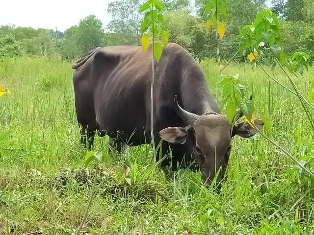 Meningkatan populasi sapi menjadi salah satu program yang dikembangkan Pemprov Kaltara. (foto: jendelakaltara.co)