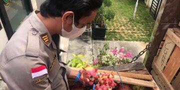 Pejabat Karantina Pertanian Tarakan Wilker Nunukan memeriksa buah naga yang akan diekspor ke Malaysia. (foto: Karantina Pertanian Tarakan)