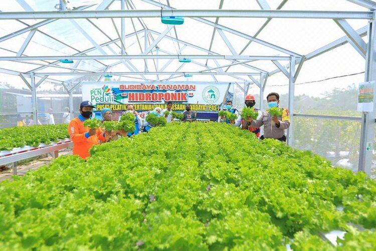 Budidaya tanaman hidroponik dengan electrifying Agriculture yaitu pemanfaatan Lampu UV, tingkatkan produktivitas tanaman. (foto: PLN)