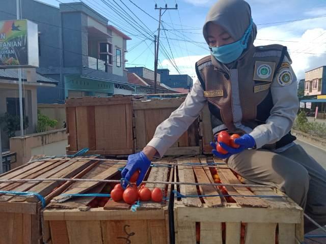 Pejabat Karantina Pertanian Tarakan Wilayah Kerja Nunukan menunjukkan buah tomat yang akan diekspor ke Malaysia. (foto: Karantina Pertanian Tarakan)
